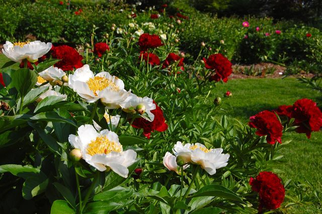 Red and white peonies