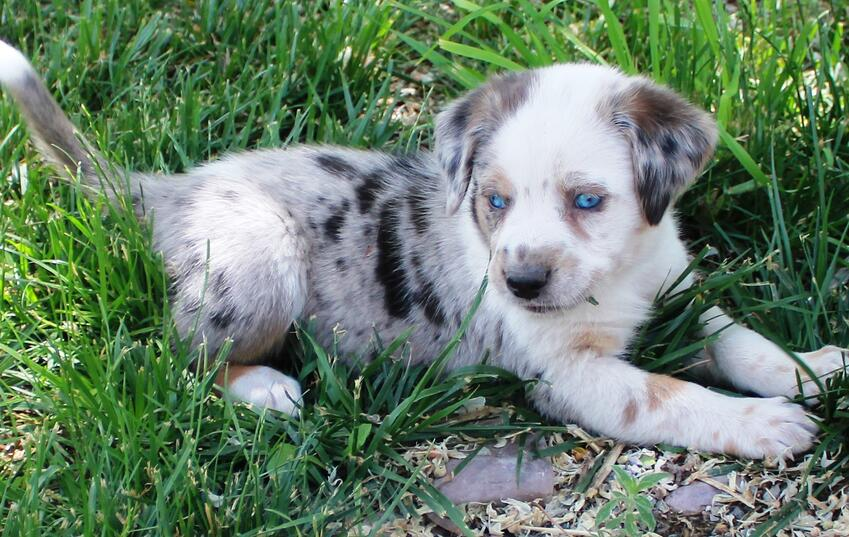 Cute puppy with blue eyes.