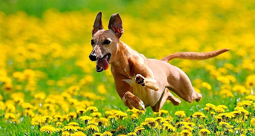 Dog running through a field of flowers.