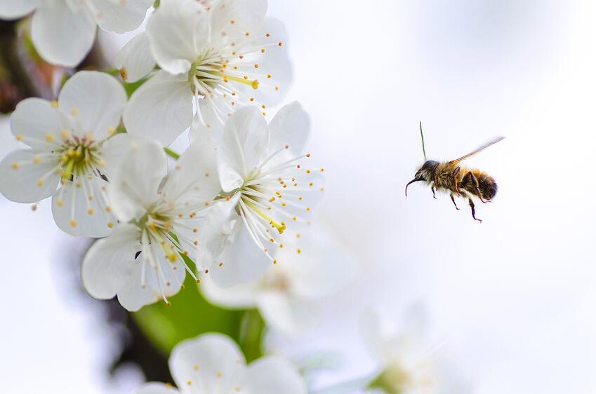 Bee flying towards white flower