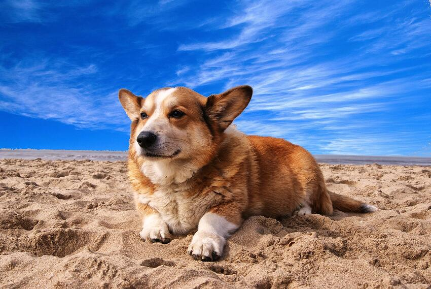 corgi on beach