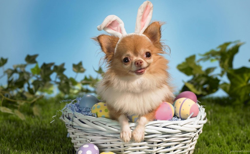 chihuahua dressed as easter bunny