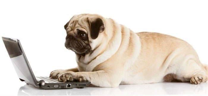 Pug using a laptop